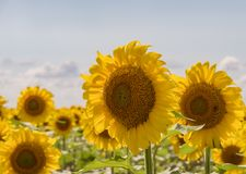 Field of blooming sunflowers on a background sunset.  stock photography