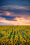 Field of blooming sunflowers on a background sunset Royalty Free Stock Photography