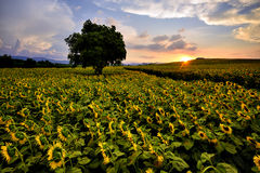Field of blooming sunflowers on a background sunset. Field of blooming sunflowers . field of blooming sunflowers on a background sunset Stock Photo