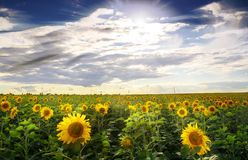 Field of blooming sunflowers on a background sunset. Stock Images