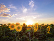 Field of blooming sunflowers on a background sunset. Stock Photos