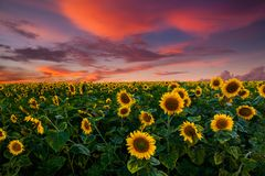 Field of blooming sunflowers on a background sunset royalty free stock image