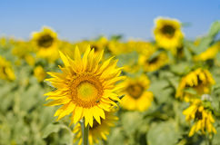 Field of blooming sunflowers on a background sunset, mer landscape, Royalty Free Stock Images