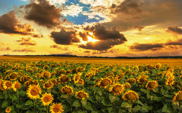 Field of blooming sunflowers on a background sunset. Field of sunflowers, soothed by the setting sun Stock Photos