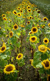 Field of blooming sunflowers on background sunset Royalty Free Stock Photos