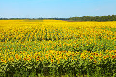 Field of blooming sunflowers Royalty Free Stock Image
