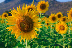 Field of blooming sunflowers Stock Images