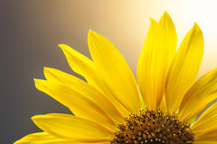 Field of blooming sunflowers Royalty Free Stock Photo