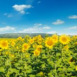 Field with blooming sunflowers and cloudy sky. Stock Photography