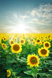 A field of blooming sunflowers in at dawn Royalty Free Stock Photography