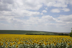 Field of blooming sunflowers. Field of blooming sunflowers disposed on background of blue sky and cumuli clouds Stock Photography
