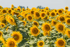 Field of blooming sunflowers - horizontal Royalty Free Stock Photography