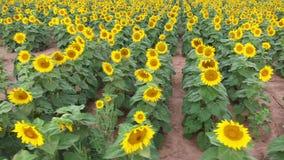 Sunflower farm field in bloom stock video