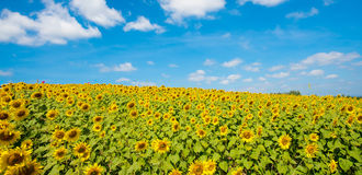 Field of blooming sunflowers Stock Image