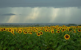 Field of blooming sunflowers and a rain. Field of blooming sunflowers on a background raining weather with clouds royalty free stock image