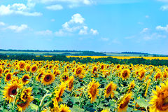 Field with blooming sunflowers, summer landscape Royalty Free Stock Image