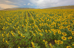 Field of blooming sunflowers Stock Photo