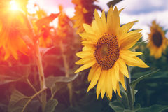 Field of blooming sunflowers on a sunlight. Nature background. Summer landscape. Royalty Free Stock Images