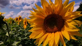 A field of blooming sunflowers on a sunny day.