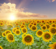 Field of blooming sunflowers Stock Photos