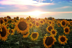 Field of blooming sunflowers. On a sunset background Stock Photography