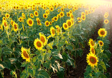 Field of blooming sunflowers on sunset light Stock Image