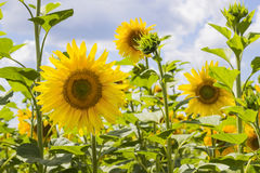 Field of blooming sunflowersagainst cloudy sky, summer landscape Royalty Free Stock Photography