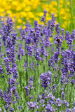 Field of blooming violet lavender Royalty Free Stock Image