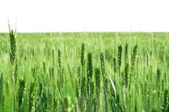 Field of blooming wheat Royalty Free Stock Image