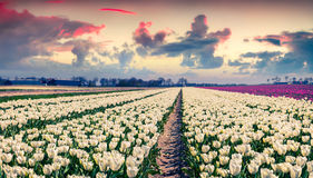 Field of blooming white tulips at sunrise. Beautiful outdoor scenery in Netherlands, Europe Stock Photos
