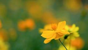 Yellow cosmos flower in the garden, Thailand. Field of blooming yellow cosmos flower in the garden, Thailand stock video footage