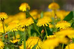 Field of blooming yellow dandelion flowers Taraxacum officinale in spring time Royalty Free Stock Photos