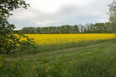 A field of blooming yellow rapeseed napus cabbage. royalty free stock photography