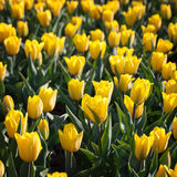 Field of blooming yellow tulips Royalty Free Stock Photo