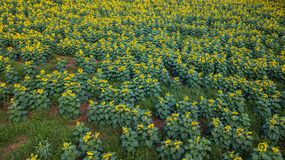 Field of bloooming  , landscape of Sunflower Farm. Field of bloooming , landscape of Sunflower Farm Royalty Free Stock Photography