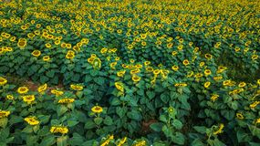Field of bloooming  , landscape of Sunflower Farm. Field of bloooming , landscape of Sunflower Farm Royalty Free Stock Images