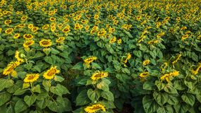 Field of bloooming  , landscape of Sunflower Farm. Field of bloooming , landscape of Sunflower Farm Royalty Free Stock Photos