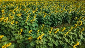 Field of bloooming  , landscape of Sunflower Farm.  Stock Images