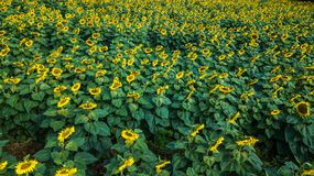 Field of bloooming  , landscape of Sunflower Farm.  Stock Image