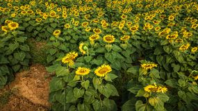Field of bloooming  , landscape of Sunflower Farm.  Royalty Free Stock Photo