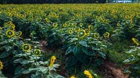 Field of bloooming  , landscape of Sunflower Farm. Field of bloooming , landscape of Sunflower Farm Royalty Free Stock Image