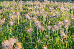 Field of blossom pasqueflowers on sunset Stock Photo