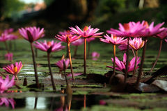 Field of Blossom Pink Lotus Flower. Field of Blossom Lotus flower stock images