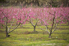 A field of blossoming almond trees Stock Photo