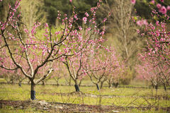 A field of blossoming almond trees Royalty Free Stock Image