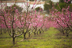 A field of blossoming almond trees Stock Images