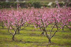 A field of blossoming almond trees Stock Photos
