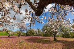 Field of blossoming almond trees and purple flowers and man walk Royalty Free Stock Photos
