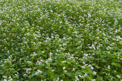 Field with blossoming buckwheat close-up Royalty Free Stock Photo