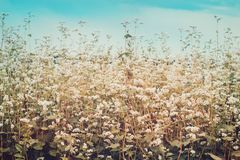 Field of blossoming buckwheat. Ripening Harvest. Toned stock photos